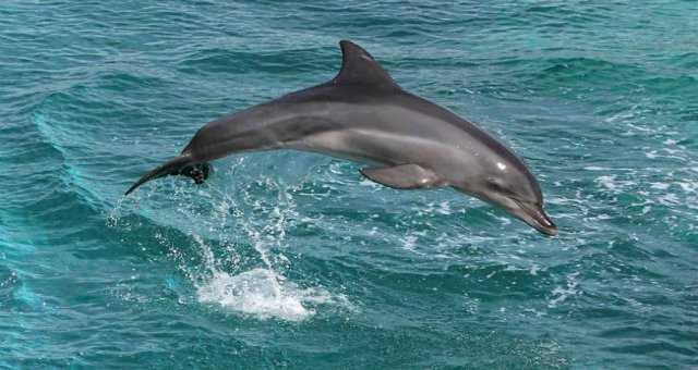 Rare River Dolphin