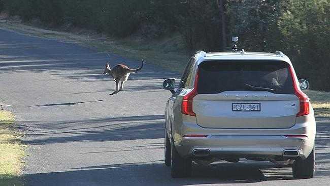 Volvo Working on Kangaroo Detection System for Australian Drivers