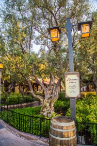 Olive trees create a Mediterranean look, appropriate for SoCal's Mediterranean Climate.