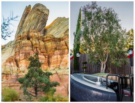 Pinyon Pine at Radiator Springs Racers and Olive Tree at Luigi's Flying Tires. Photos courtesy the Disneyland Resort.