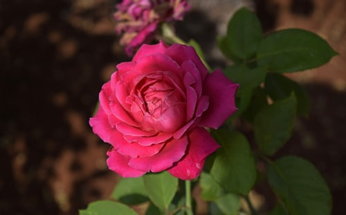 happy rose day 2020 wishes date