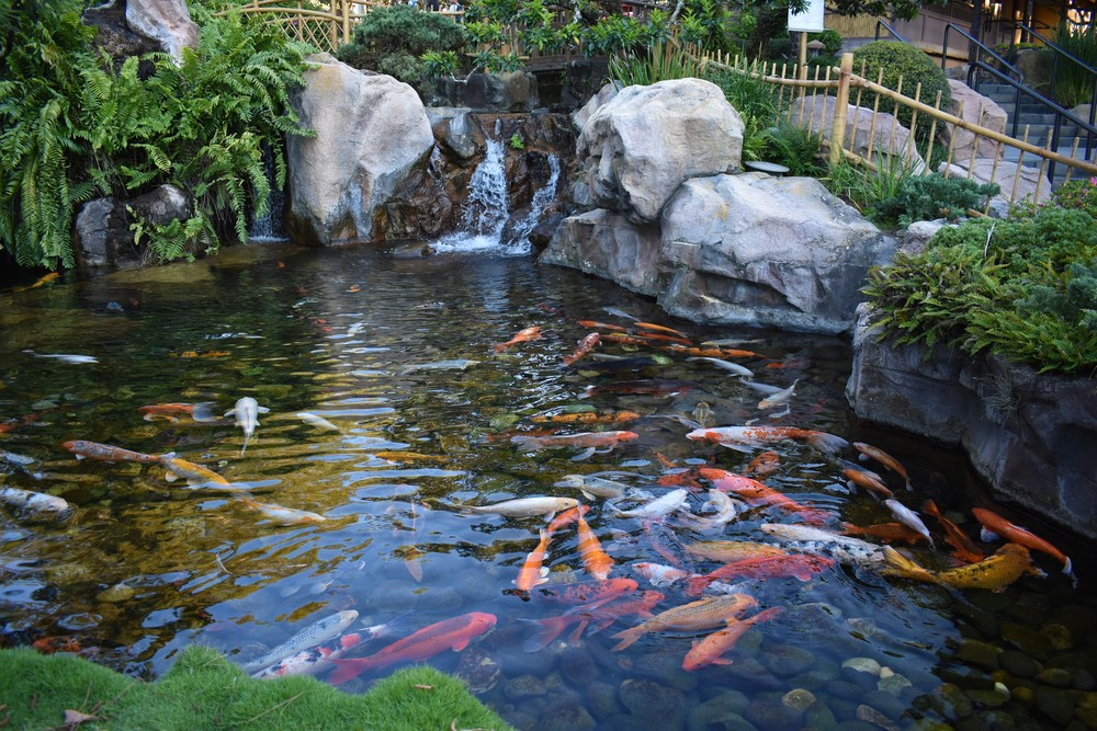 Building a Koi Pond – Important Tips For Creating a Healthy Pond