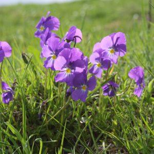 tisane de fleurs de mauve et de pensées sauvages soins naturopathie nature ferme bio yourte végétale saint françois longchamp savoie bien être