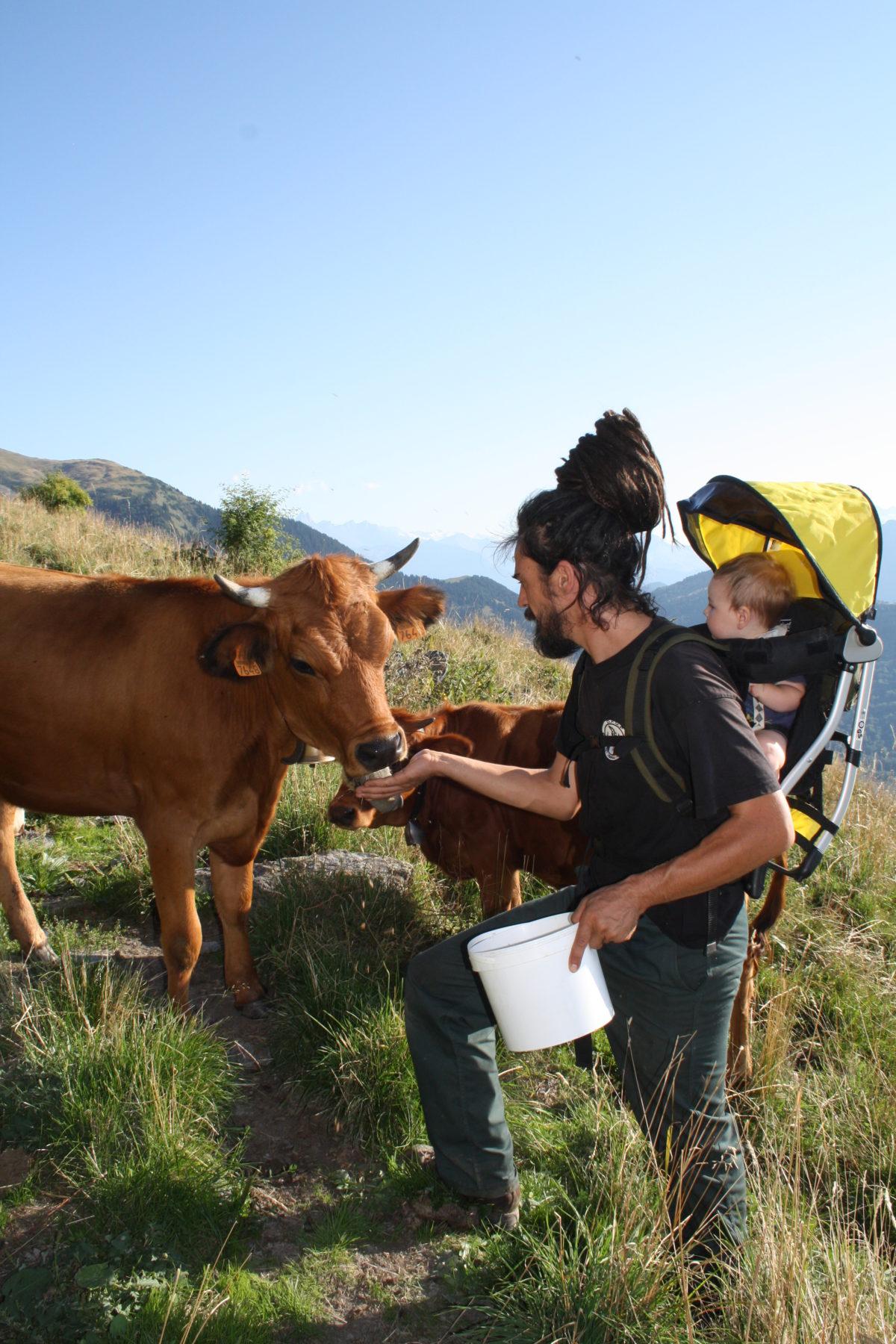 Alpage vaches bio yourte végétale montaimont saint françois longchamp savoie ferme agriculture