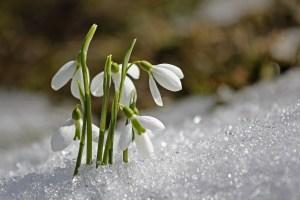 neige du printemps ferme bio yourte végétale montaimont saint françois longchamp savoie ferme agriculture