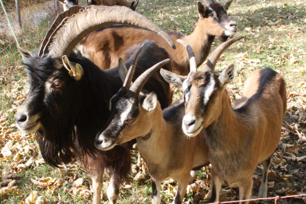 chèvres yourte végétale montaimont saint françois longchamp savoie ferme agriculture biologique