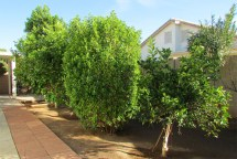 Row of Lemon, Grapefruit and Orange Trees - 353 E Jasper Dr, Chandler Arizona - variety of mature fruit trees - Bill Salvatore, Arizona Elite Properties 602-999-0952 - Arizona Real Estate
