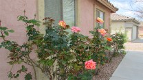 Pink and orange rose bush in front of home - 417 E Sheffield Ave, Chandler AZ - Festiva Court - Nicely landscaped with flowering Bushes - Bill Salvatore, Arizona Elite Properties 602-999-0952 - Arizona Real Estate