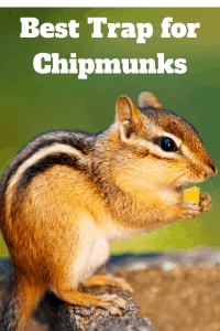 How To Get Rid of Chipmunks from your yard
