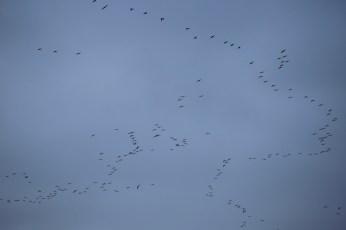 Sandhill cranes on the Platte River flocks