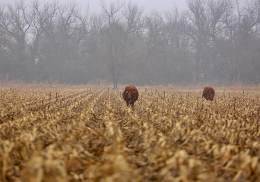 Cows along the Platte
