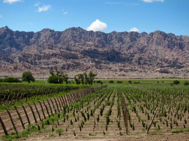 Ruta 40 Salta Argentina vineyard