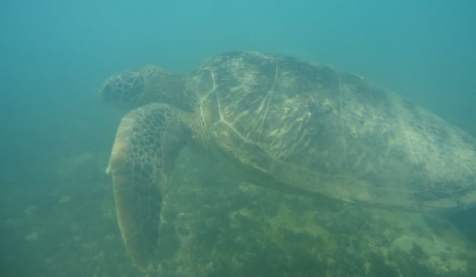 Swim with the sea turtles in the Praia do Sueste