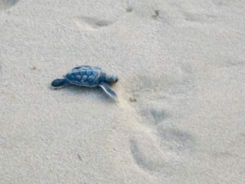 baby turtle hatchery Fernando de Noronha