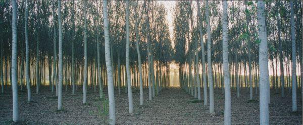 Villa Cerretello trees