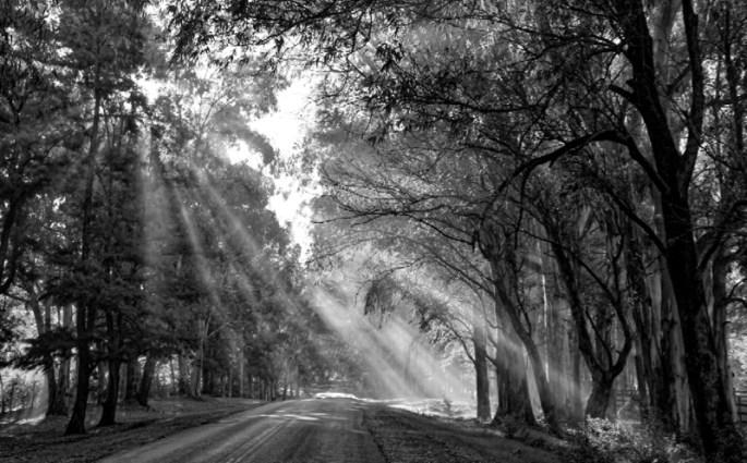 Carmelo cypress trees sunlight
