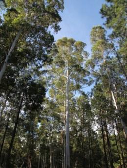 Four Seasons Carmelo -pine trees