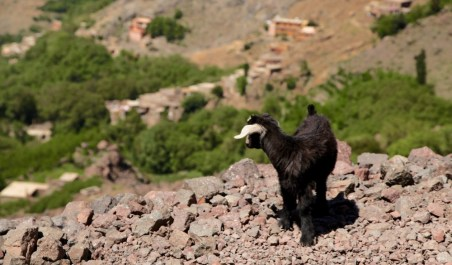 Trek in High Atlas goat