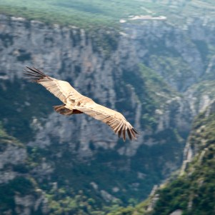 Gorge du Verdon vulture