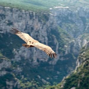 Gorge du Verdon vulture