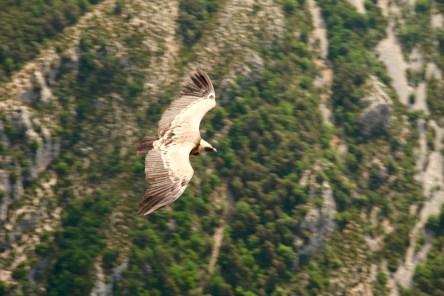 Gorge du Verdon Griffon vulture close