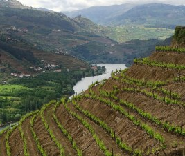 Douro Valley vine plantings