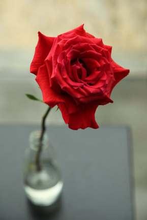 Areias do Seixo perfect rose
