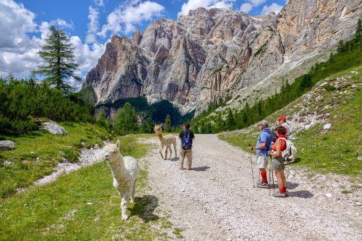 Rifugio Scotoni llamas hikers