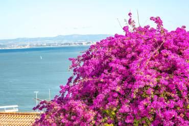 Lisbon bougainvillea
