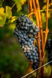 Gasa Gialla Monforte grape bunch