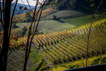 Barolo Ginestra vines