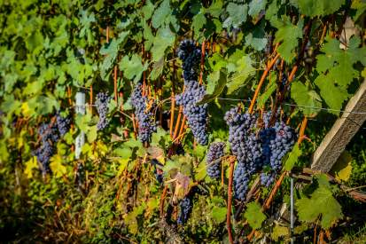 Grapes in sun Monforte