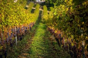 rows of vines Monforte