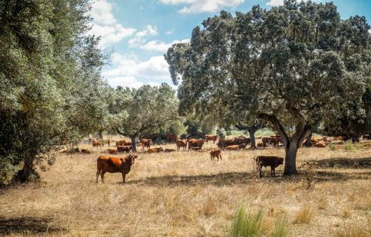Sao Lourenco Barrocal cows in sun