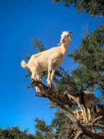 single Goats in trees Morocco