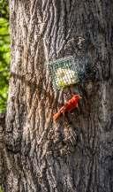 Paton Center for Hummingbirds woodpecker