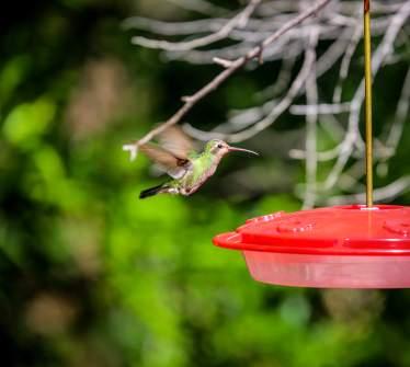 PatagoniaAZhummingbird