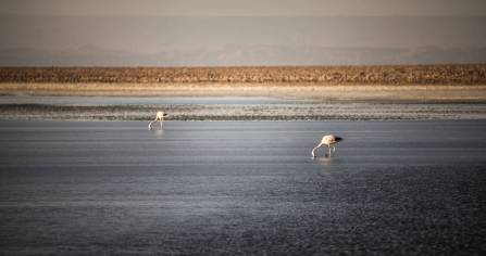 flamingoes eating Salar de Atacama