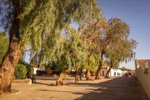 trees in San Pedro de Atacama