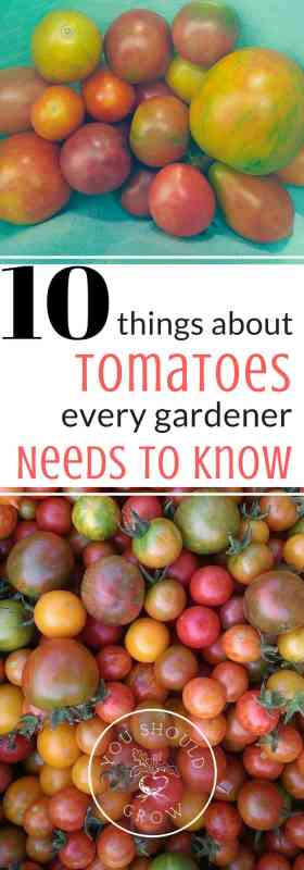 10 Things About Tomatoes Every Gardener Needs To Know