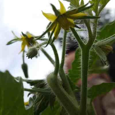 Close-up of tomato plant