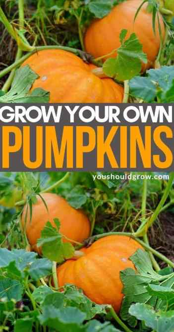 Grow your own pumpkins pinterest pin