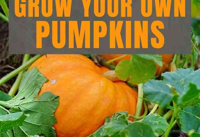 how to grow your own pumpkins featured image