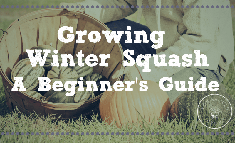 Growing Winter Squash: a beginner's guide