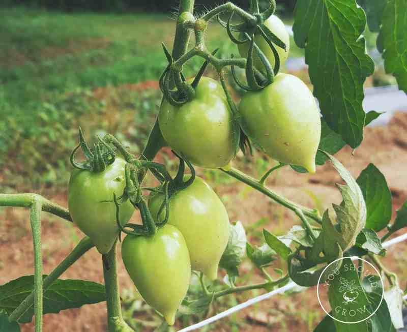 Green tomatoes can take three months to ripen on the vine.