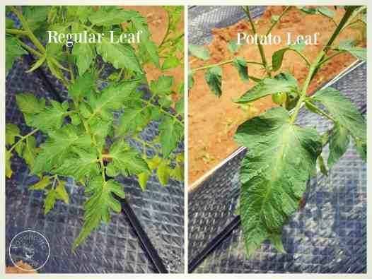 Regular vs Potato Leaf Tomatoes