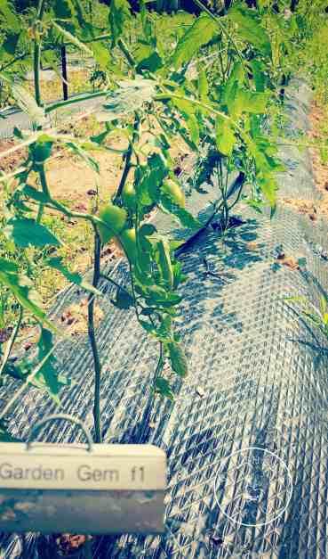 Garden Gem Tomato: A Tomato Geek\'s Review | You Should Grow