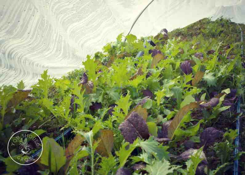 Salad mix growing in small hoop tunnel to protect plants from frost.
