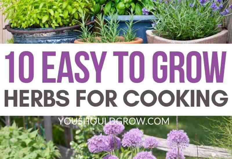 10 Easy to grow herbs for cooking featured image