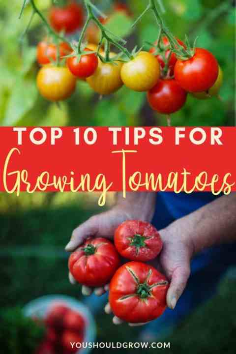 top 10 tips for growing tomatoes text overlaying images of tomatoes ripening on vine and hands holding ripe tomatoes